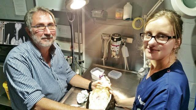 Dr Deon de Beer and Sr Brigitte Böhmer examining a Black-chested Snake eagle.